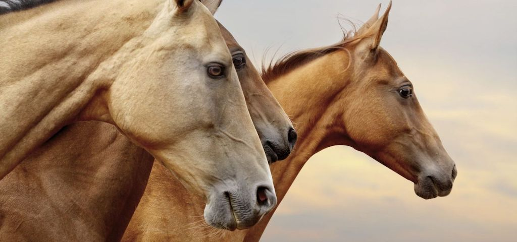 The profile view of three majestic brown horses
