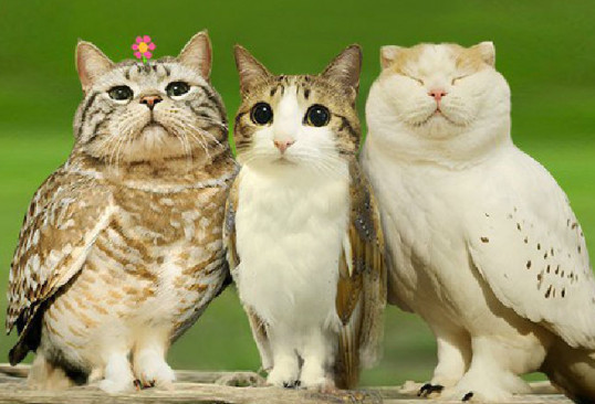 Photo of a meowl: a cat face photoshopped on an owl